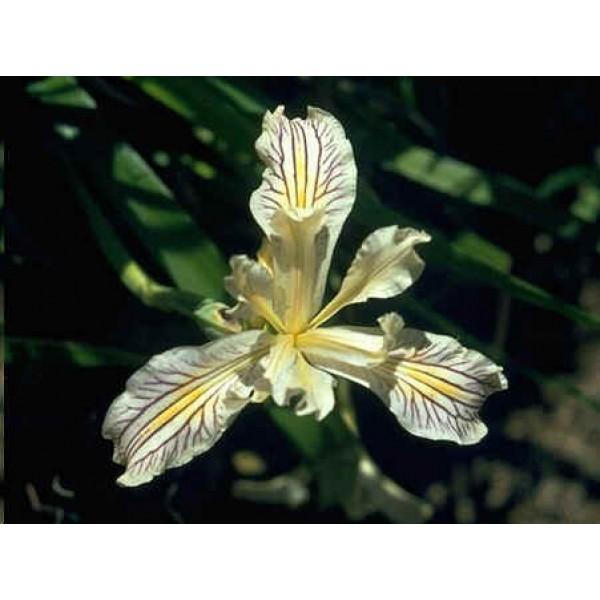 Graines Iris Bracteata