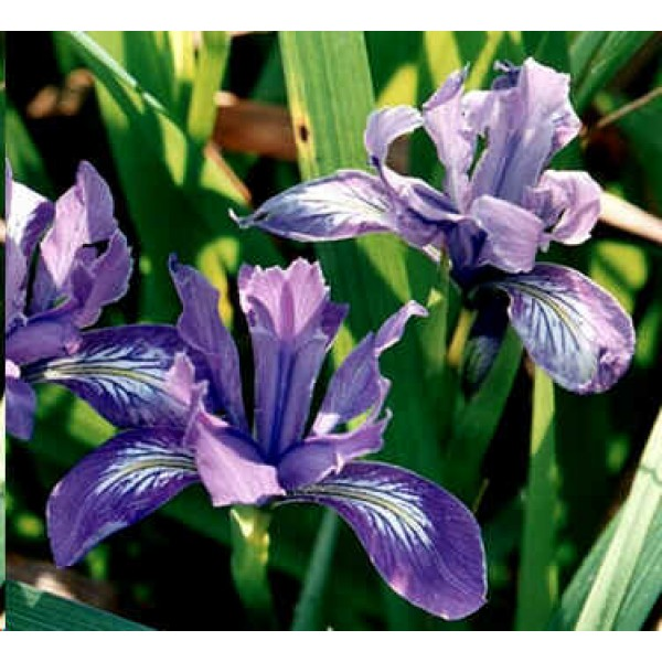 Graines Iris Douglasiana