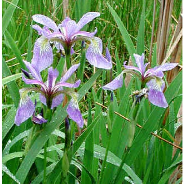 Graines Iris Versicolor