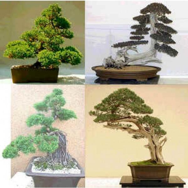 Graines Genévrier de Chine (Graines Juniperus Chinensis) sur Rarexoticseeds.com