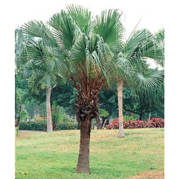 Graines Livistona Chinensis (Graines Latanier de Chine, Graines Palmier Évantail Chinois)