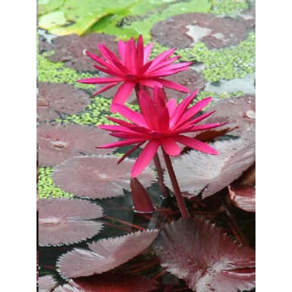 Graines Nénuphar Rouge, Floraison de Jour (Graines Nymphaea Rouge) sur Rarexoticseeds.com