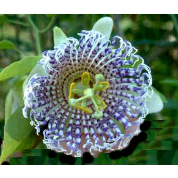 Passiflora Actinia (Fruit de la Passion, Fleur de la Passion)