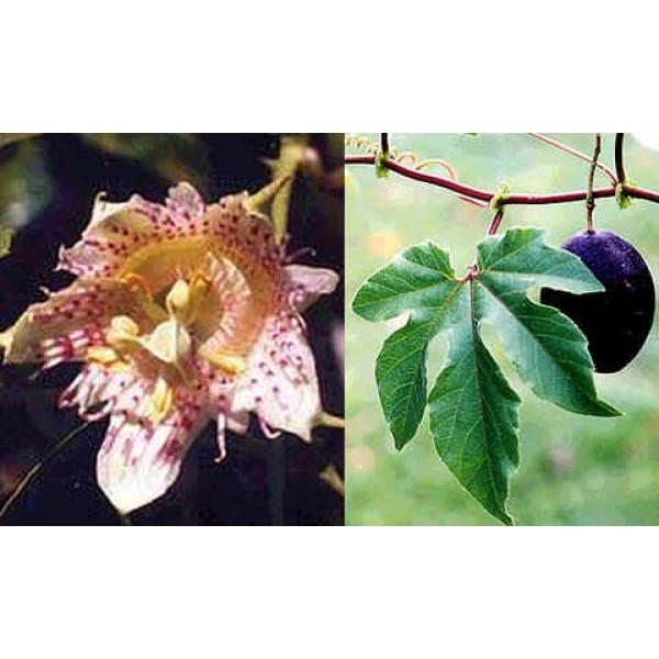Graines Passiflora Adenopoda (Fruits de la Passion, Fleurs de la Passion)