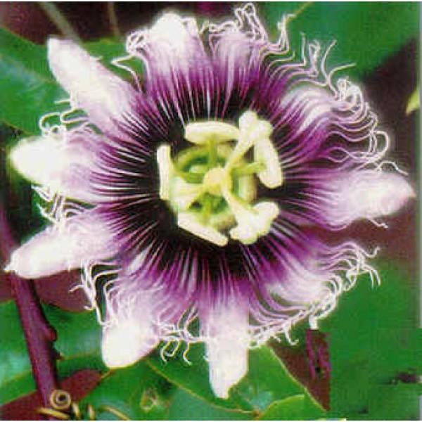 Passiflora Edulis Géant Doré