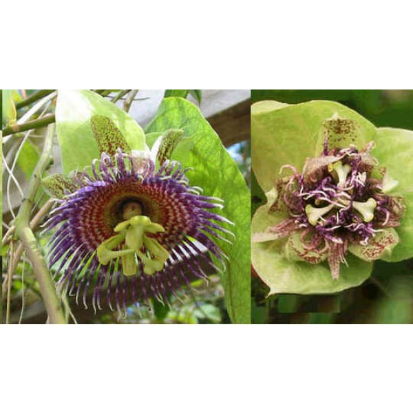 Graines Passiflora Maliformis