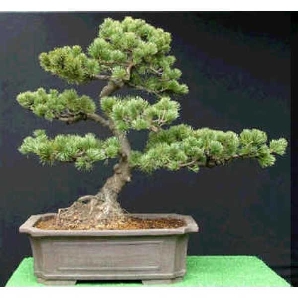 Graines Pinus Armandii (Graines Pin Armand)