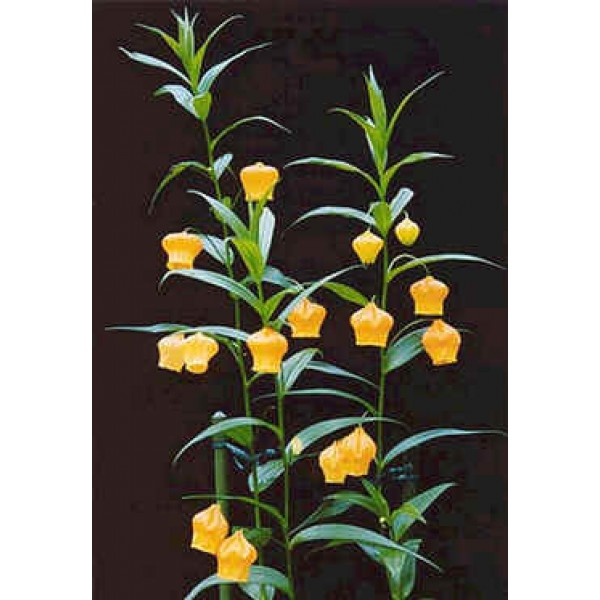 Graines Sandersonia Aurantiaca (Graines Lis Lanterne Chinoise)