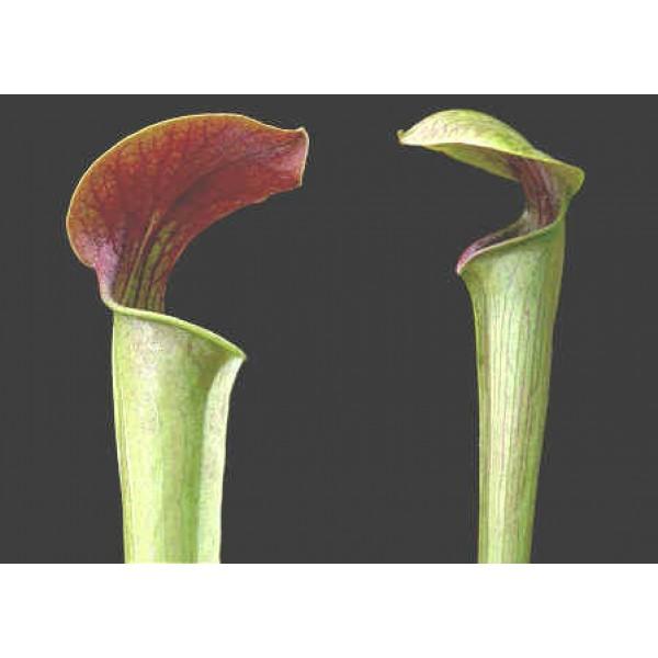 Sarracenia Alata à Gorge Rouge