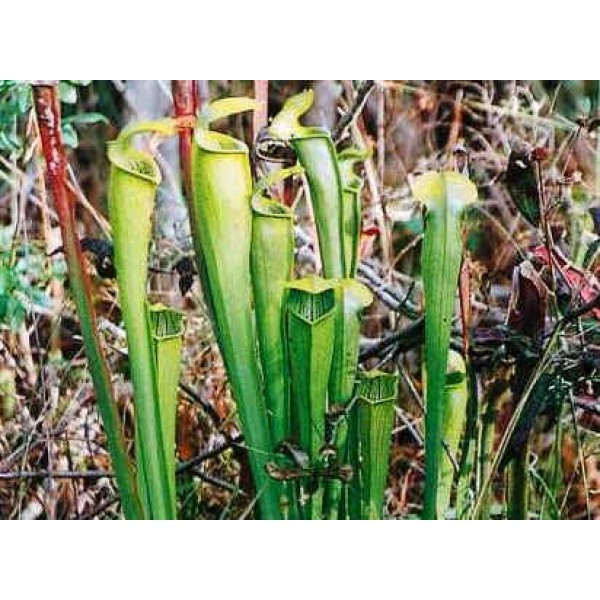 Graines Sarracenia Alata