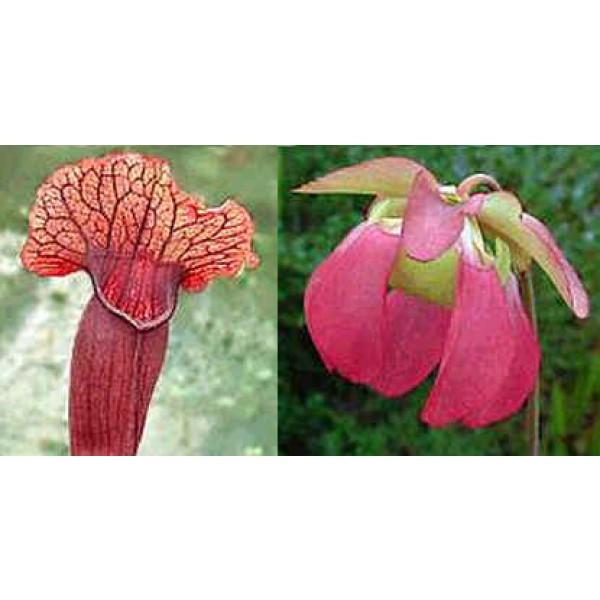 Graines Sarracenia Flava x Sarracenia Purpurea Venosa