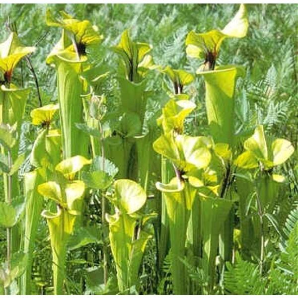 Graines Sarracenia Rugelii
