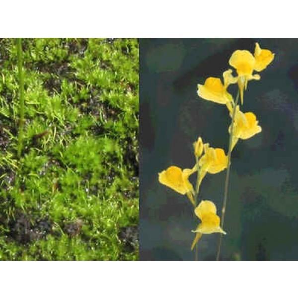 Graines Utricularia Juncea