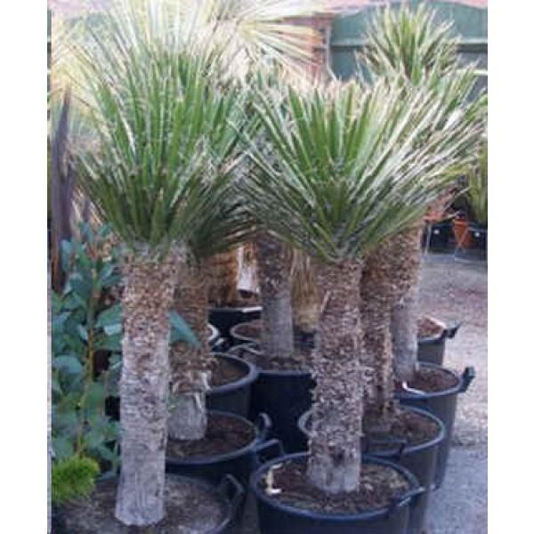 Graines Yucca Filifera (Graines Palmier de Saint Pierre)