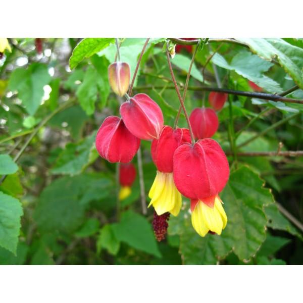 Abutilon Megapotamicum Seeds (Chinese Lantern, Flowering Maple Seeds)