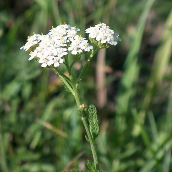 Graines Achillea millefoaclium (Graines Achillée Millefeuille)