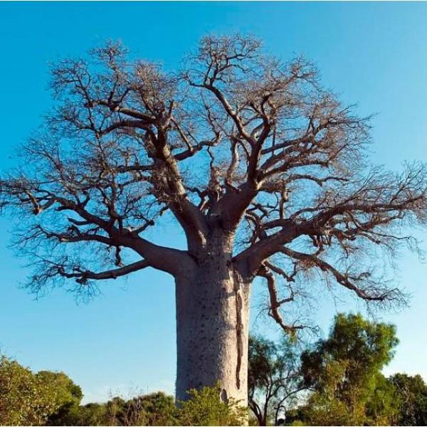Graines Adansonia Madagascariensis (Graines Baobab de Madagascar)
