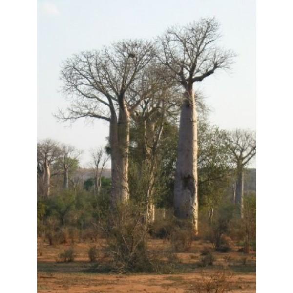 Graines Adansonia Za (Graines Baobab Za)