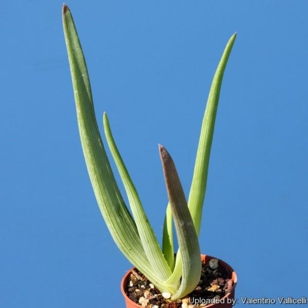 Graines Aloe Ibitiensis