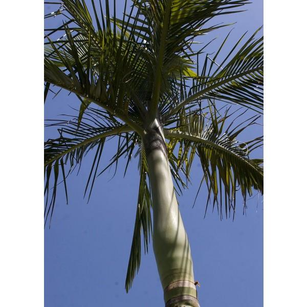 Archontophoenix Alexandrae (King Palm , Alexander Palm , Alexandra Palm)