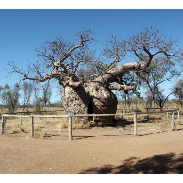 Adansonia Gregorii (Baobab Australien)