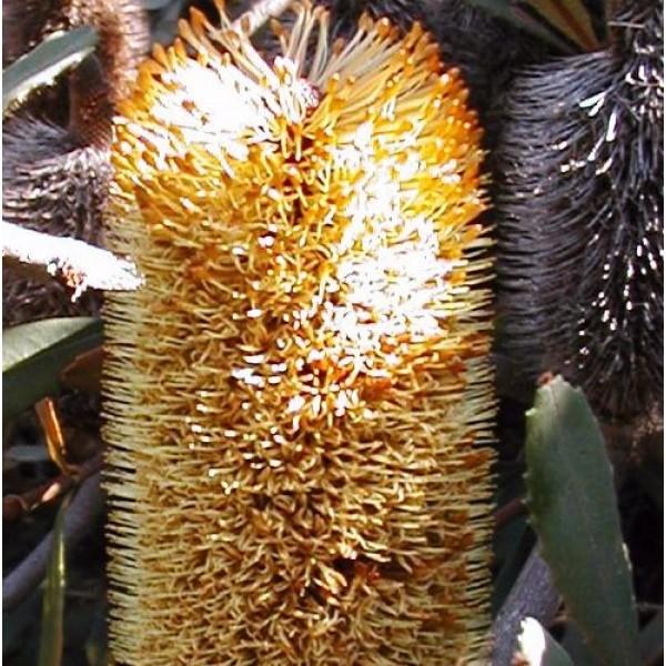 Banksia Conferta Seeds