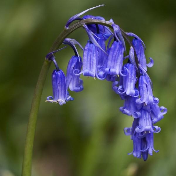 Graines Jacinthe Des Bois (Hyacinthoides non-scripta)
