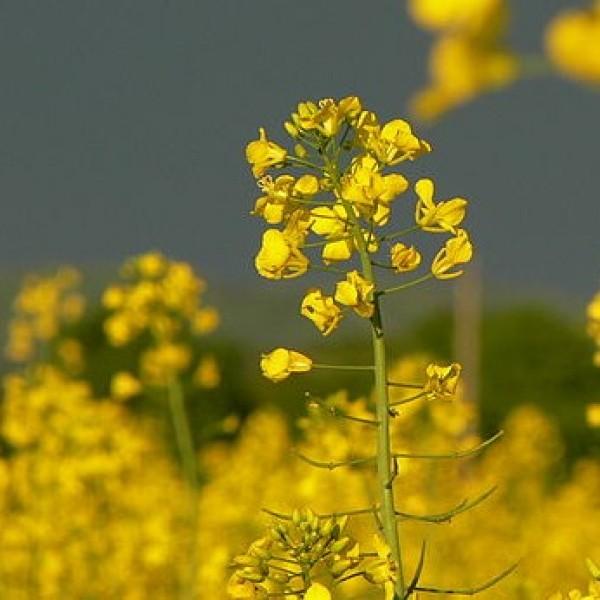 Brassica Juncea (Moutarde Brune)