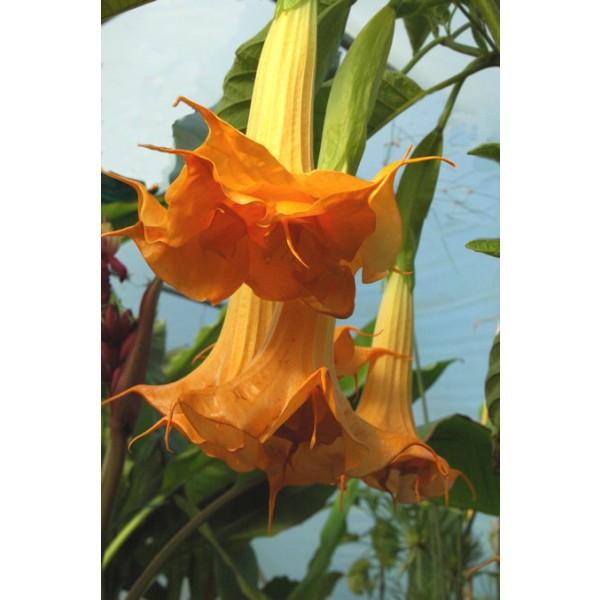 Brugmansia Orange Glory Seeds (Brugmansia Aurea Seeds)