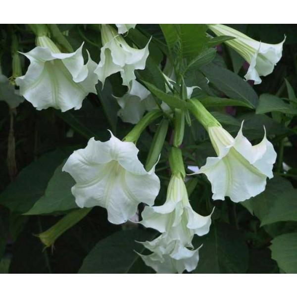 Graines Brugmansia Suaveolens Blanc (Trompettes des Anges)