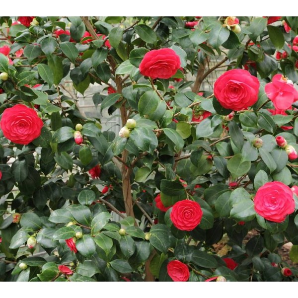 Graines Camélia du Japon (Camellia Japonica)
