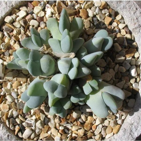 Cheiridopsis Seeds Mix