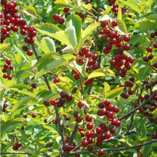 Graines Cerisier de Virginie