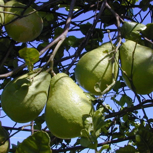 Citrus Maxima (Pamplemoussier)