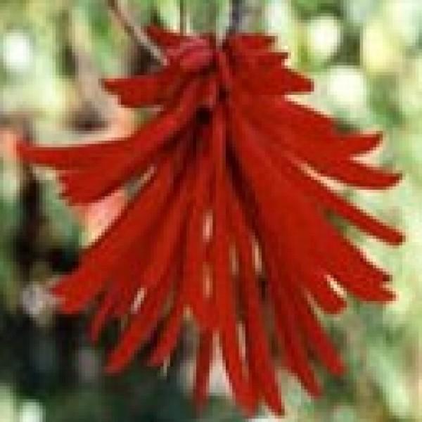 Erythrina Smithiana