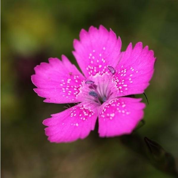 Fleur de Dianthus Deltoides (Maiden Pink)