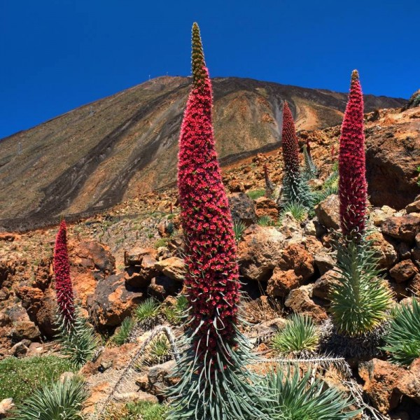 Echium Wildpretii (Tower of Jewels)