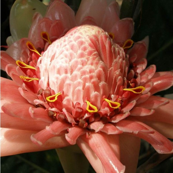 Etlingera Elatior Rose (Gingembre Tropical Rose)