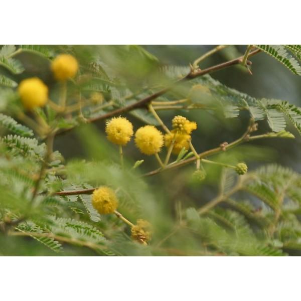 Graines Acacia Nilotica (Acacia arabica, Gommier Rouge)
