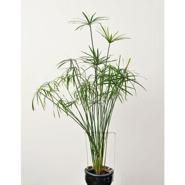 Graines Cyperus Alternifolius (Cyperus à feuilles alternes, Plante ombrelle)