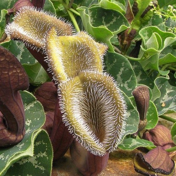 Aristolochia Chilensis