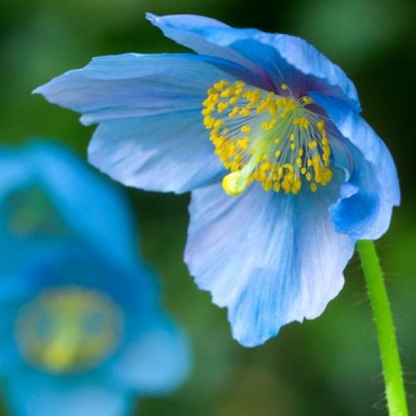 Graines Pavot Bleu de l'Himalaya - Meconopsis Betonicifolia