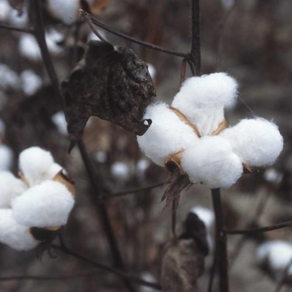 Graines Gossypium Hirsutum (Graines Arbre Cotton)