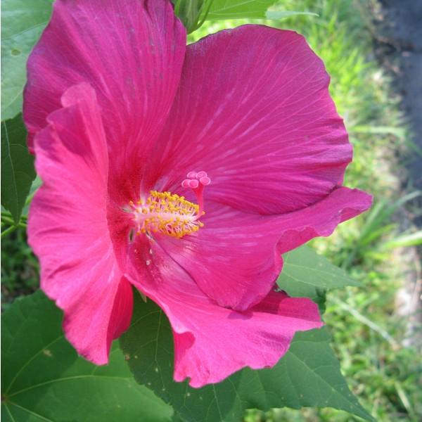 Hibiscus Mutabilis (Confederate Rose)
