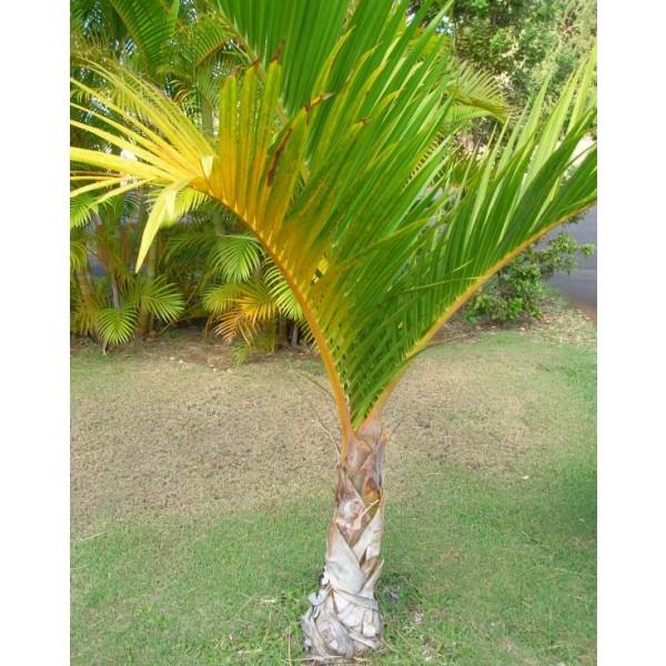 Hyophorbe Verschaffeltii (Palmier Fusain)