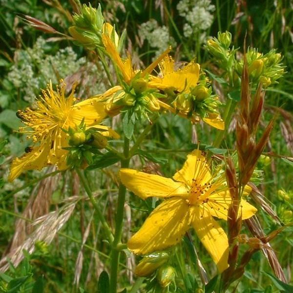 Hypericum Perforatum (Millepertuis Perforé)