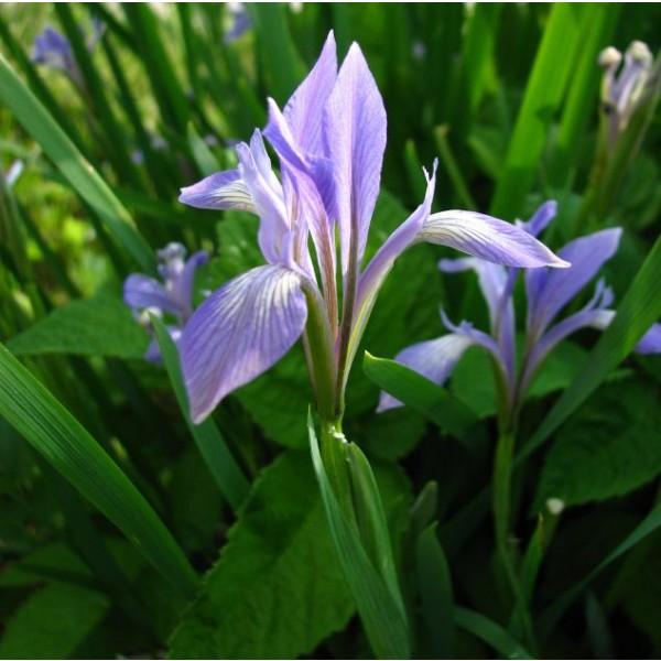 Graines Iris Lactea
