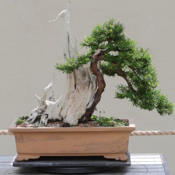 Japanese Yew Seeds