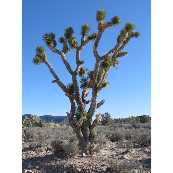 Graines Yucca Brevifolia (Graines Arbre de Josué)