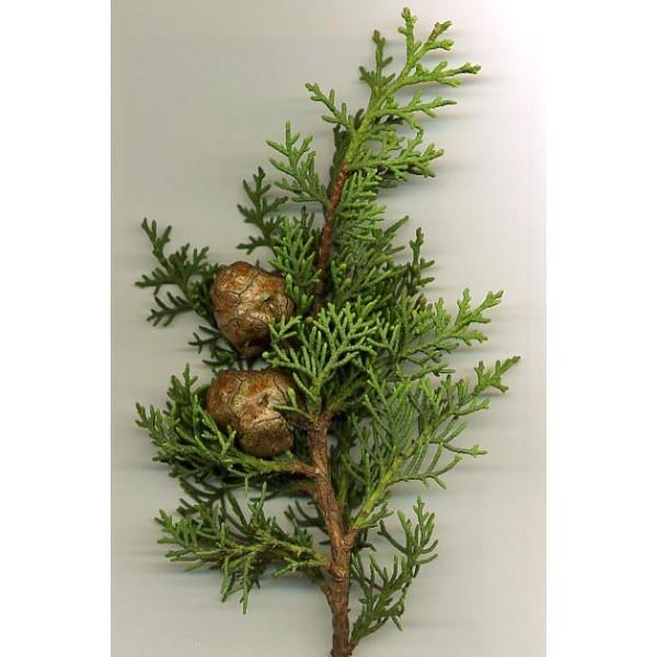 Graines Cupressus Sempervirens (Graines Cyprès de Provence)